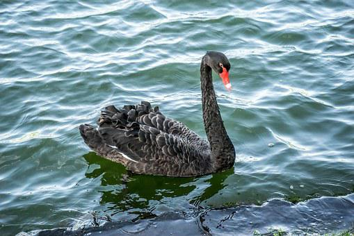 Black Swan, Bird, Nature, Water, Wildlife, Feather