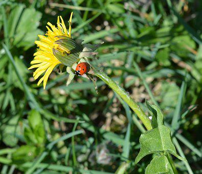 Dandelion, Nature, Ladybug, Flower, Yellow, Summer