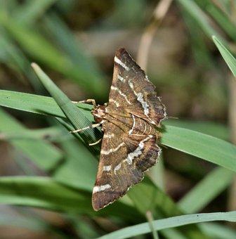 Moth, Hawaiian Beet Webworm Moth, Insect, Brown Moth