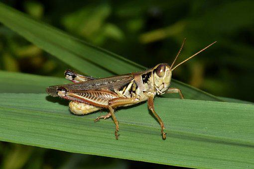 Grasshopper, Hopper, Insect, Creature, Animal, Close Up