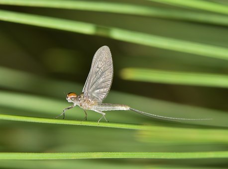 Mayfly, Fishfly, Shadefly, Insect, Insectoid, Stinkfly