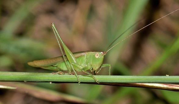 Katydid, Meadow Katydid, Grasshopper, Insect, Green