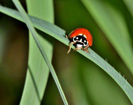 Polished Lady Beetle, Lady Beetle, Ladybug, Bug, Beetle