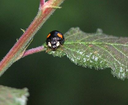 Ladybird, Macro, Nature, Red, Insect, Ladybug, Flora