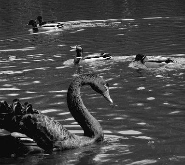 Swan, Duck, Lake, Waters, Black And White, Waterfowl