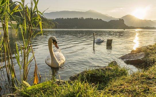 Swan, Swimming, Lake, River, Nature, Wild, Wildlife
