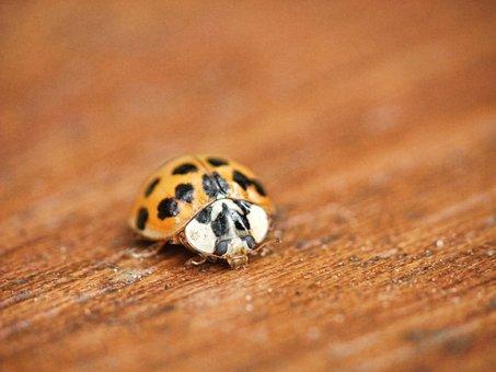 Ladybird, Ladybug, Macro, Beetle, Insect, Red, Black