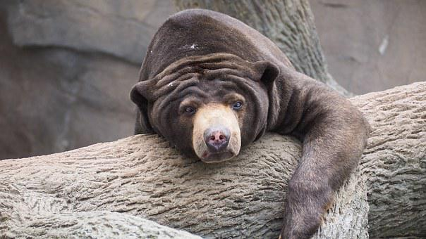 Sun Bear, Bear, Sun, Wild, Wildlife, Mammal, Sunbear