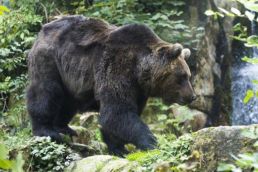 Brown Bear, Bear, Furry, Zoo, Wildlife Park, Mammal