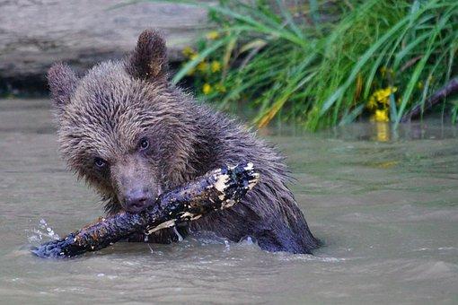 Bear, Brown Bear, Predator, Teddy, Mammals, Dangerous