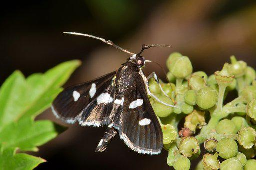 Moth, Grape Leaf Roller, Insect, Insectoid, Wings