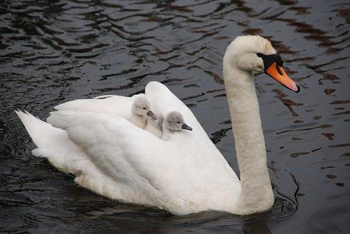 Nature, Bird, Swan, Young, Small, Mother, Father, White