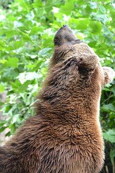 Bear, Brown Bear, Alpine, Mountains, Predator, Fur