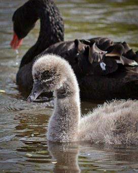 Swan, Signet, Young, Down, Nature, Wildlife, Black
