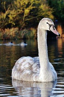 Swan, White, Nature, Bird, Lake, Water, Wildlife