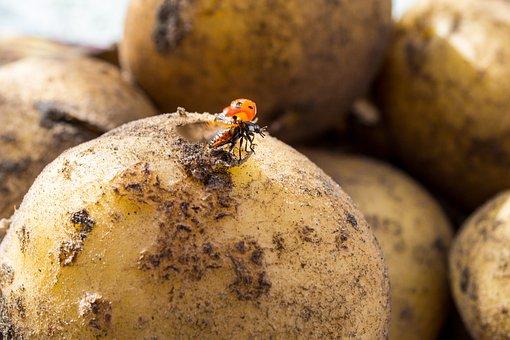 Ladybug, Potato, Fly, Insect