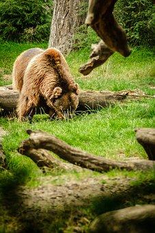 Bear, Brown Bear, Ursus Arctos, Animal, Predator