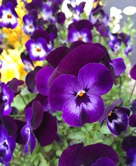 Pansy, Flowers, Purple, Yellow, Brilliant, Japan