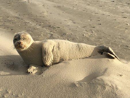 Seal, Sand, Mammal, Beach, Sea, Water, Creature, Nature