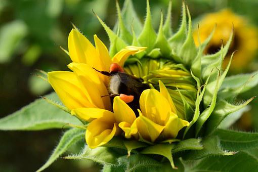 Hummel, Sun Flower, Search, Food, Collect, Research