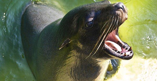 Seerobbe, Robbe, Seal, Sea Lion, Predator