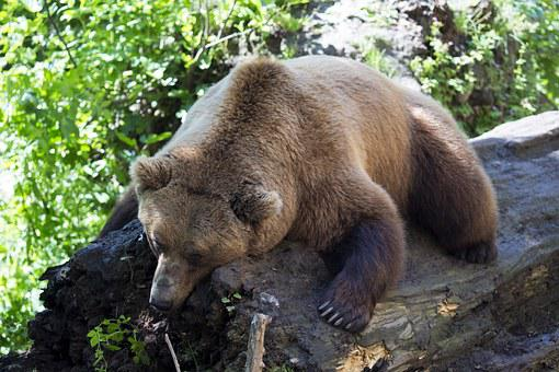 European Brown Bear, Afternoon Nap, Sleeping On A Log