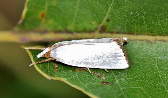 Moth, Urola Moth, Snowy Urola Moth, White Moth, Insect