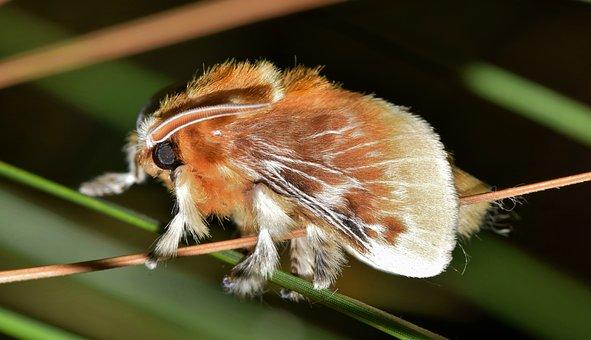 Moth, Flannel Moth, Southern Flannel Moth, Brown Moth