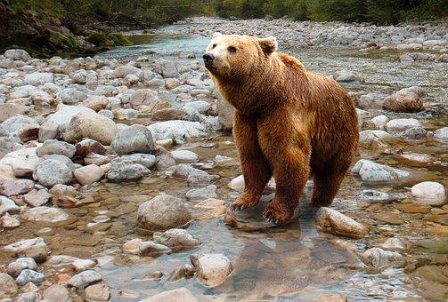 Bear, Predator, Brown Bear, Dangerous, Water, Stones