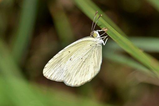 Butterfly, Yellow Butterfly, Sulphur, Sulphur Butterfly