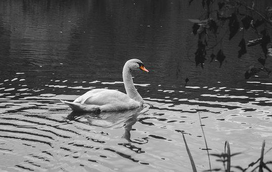 Swan, Pond, Water, Bird, Water Bird, Black White Photo