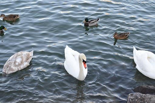 Swan, Water, Bird, Swan Lake, Bill, Black Swan