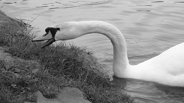 Swan, Waters, Black And White, Water Bird, Nature
