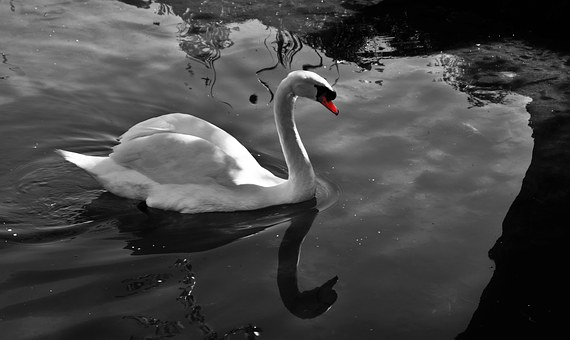 Swan, Solitude, Water, Tranquility, Reflections, Bird