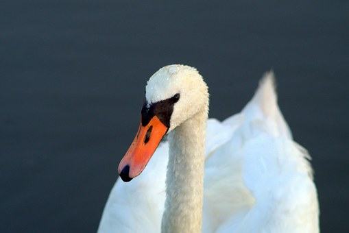 Swans, Swan, Young Swans, Gray, White, Young
