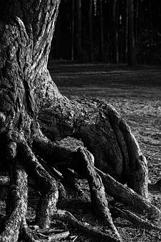 Pine, Trunk, The Roots Of The, Trees, Nature, The Bark