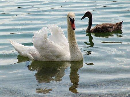 Swan, Swans, Waters, Water Bird, Lake, Schwimmvogel
