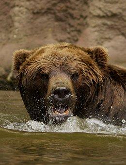 Bear, Water, The Roar, Rage, Brown, Wet