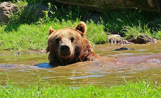 Bear, Brown Bear, Water Puddle, To Bathe
