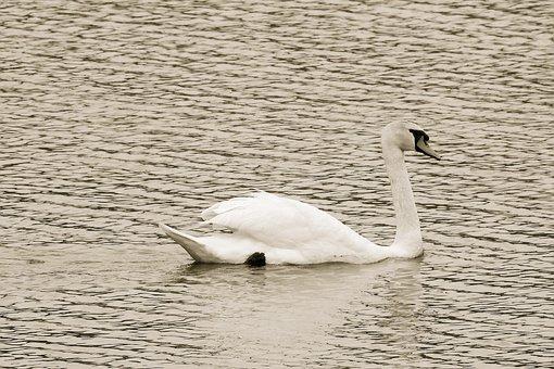 Swan, Lake, Bird, Waters, Black And White