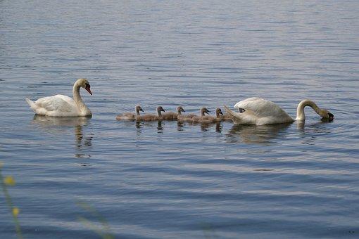 Swan, Pond, Chicks, Family, Bird, White, Animal, Water