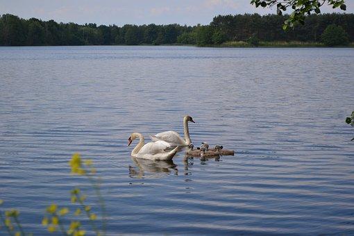 Swan, Family, Pond, Spring, Chicks, White, Water