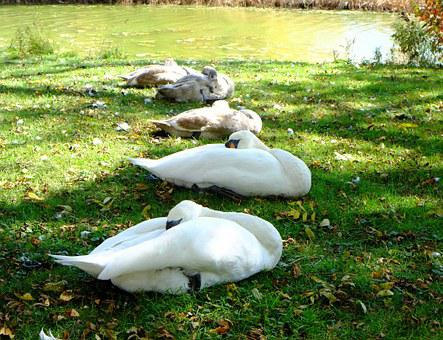 Sleeping Swans, Young Signets, River Bank, Wild Birds