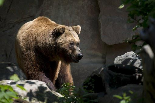 European Brown Bear, Wildlife, Ursus, Arctos, Mammal