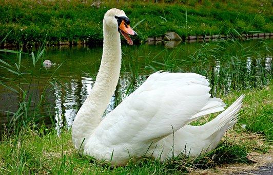 Swan, Bird, Waterfowl, Waterbird, Cygnus, Wildlife