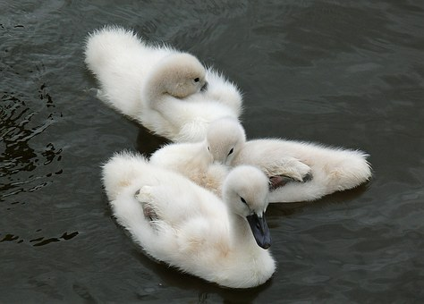 Young Animals, Swan, Cygnet, Water Bird, Water, Bird