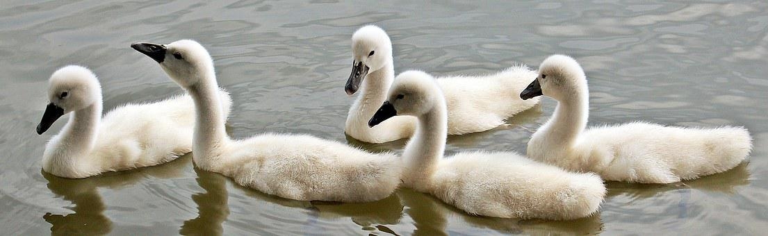 Swans, Baby Swans, Water, Waterfowl, Young Swans