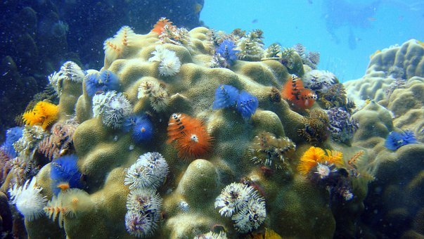 Christmastree Worms, Close-up, Coral, Sea, Marine