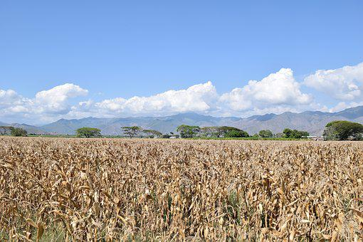 Field, Corn, Cultivation, Agriculture, Harvest, Grain