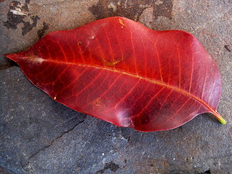 Leaf, Single, Red, Veins, Autumn, Remnant, Curly